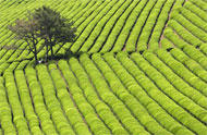 Boseong Tea Plantation, South Korea